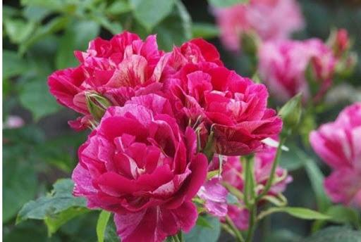 Роза Ги Савой 1