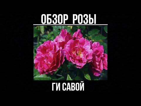 Роза Ги Савой 2