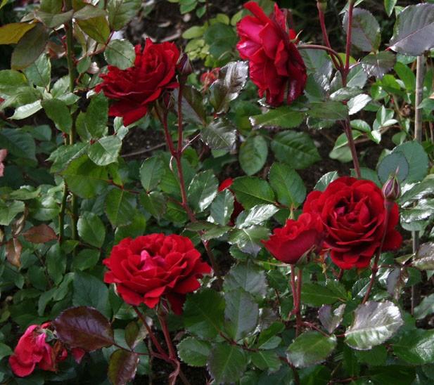Роза Изабель Ренессанс изображение 1