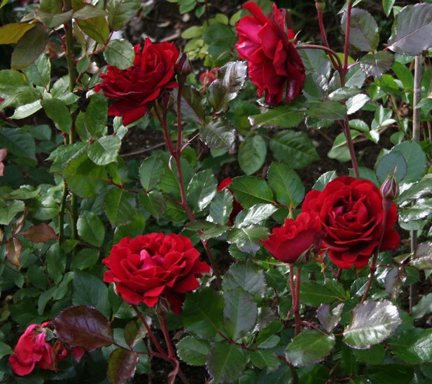 Роза Изабель Ренессанс 1