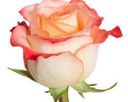 Роза Кабарет