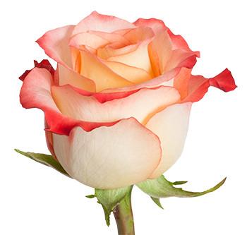 Роза Кабарет 1