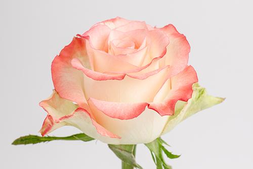 Роза Кабарет 2