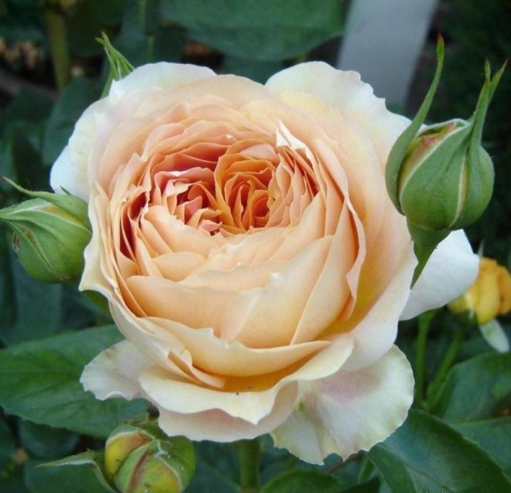 Роза Карамель Антик изображение 1
