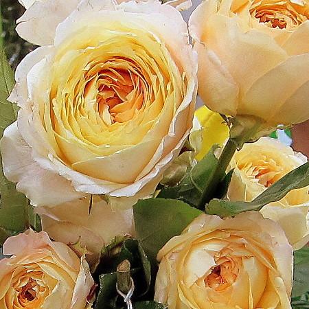Роза Карамель Антик изображение 4