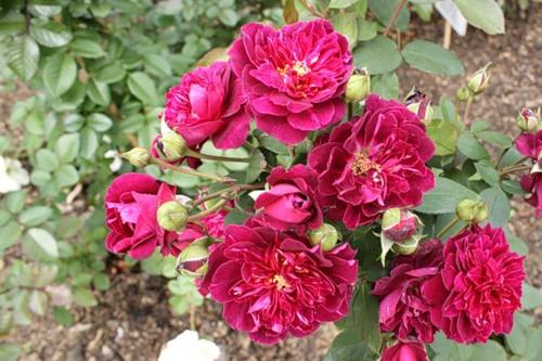 Роза Кардинал Хьюм 1