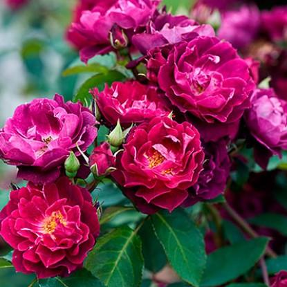Роза Кардинал Хьюм 4