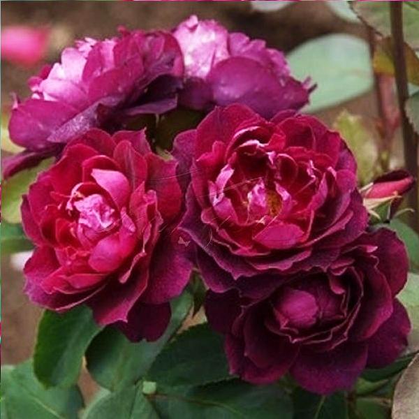 Роза Кардинал Хьюм 3