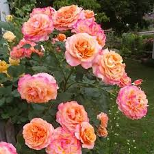 Роза Ла Вилла Котта изображение 1