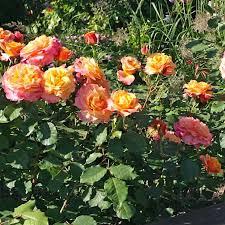 Роза Ла Вилла Котта изображение 2