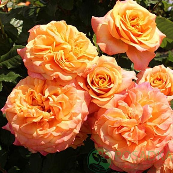 Роза Ла Вилла Котта изображение 3