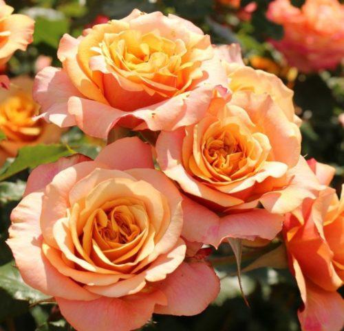 Роза Ла Вилла Котта изображение 4