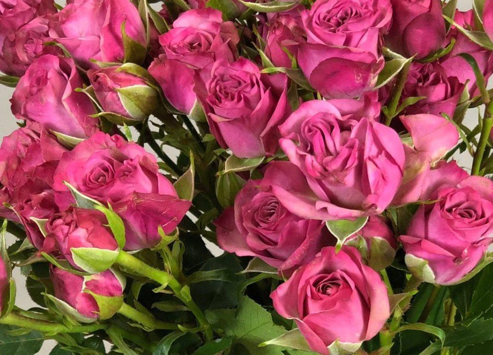 Роза Латойя 4