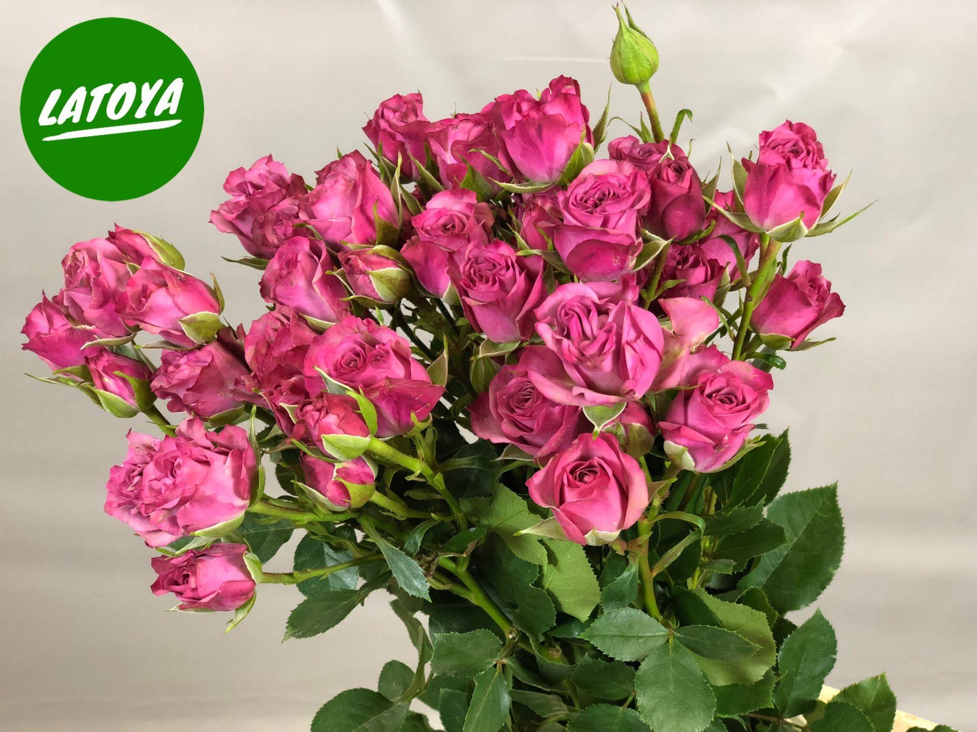 Роза Латойя изображение 1