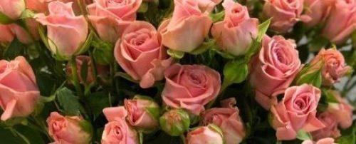 Роза Латойя 3