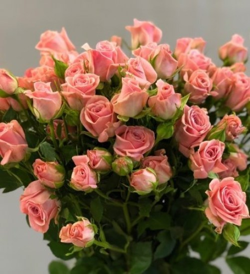 Роза Латойя изображение 3