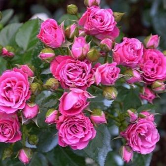 Роза Латойя 2