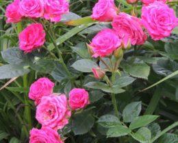 Роза Латойя