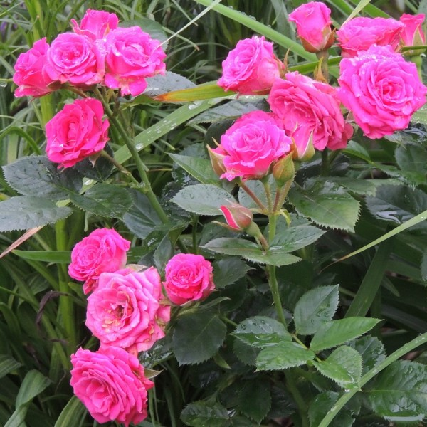 Роза Латойя 1