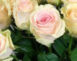 Роза Лавли Доломити