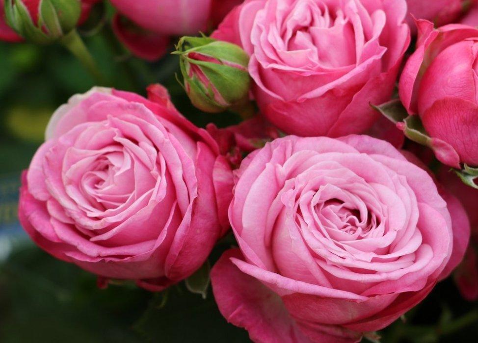 Роза Леди Бомбастик 1