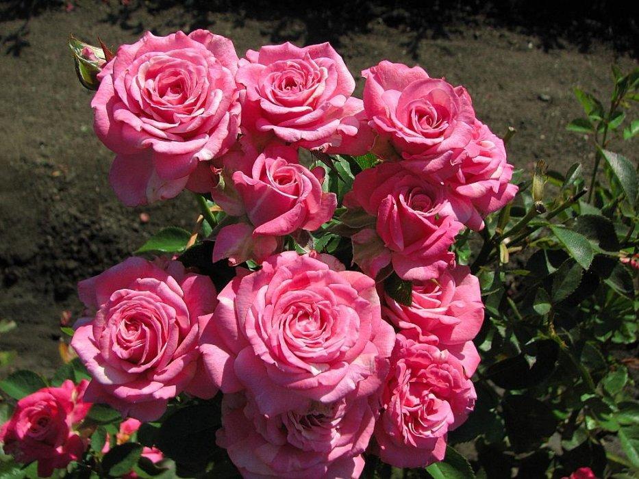 Роза Леди Бомбастик 2