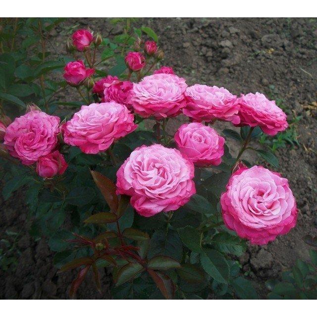 Роза Леди Бомбастик 3