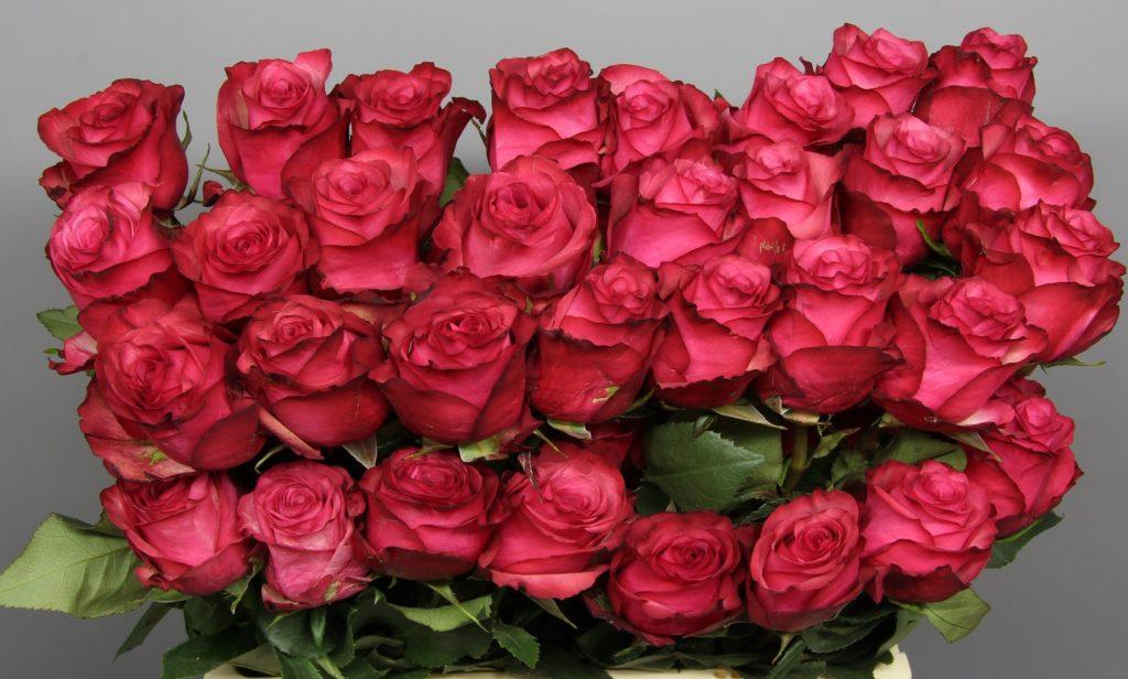 Роза Лола Паола изображение 1
