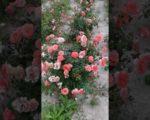 Роза Лоран Каброль