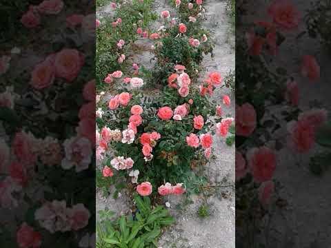 Роза Лоран Каброль 1