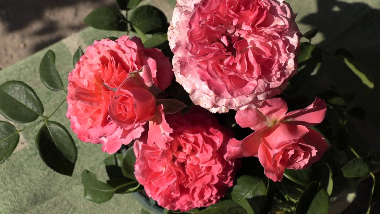 Роза Лоран Каброль 3