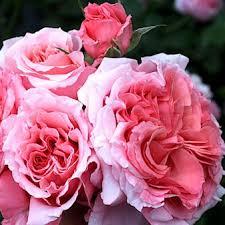 Роза Лоран Каброль 4
