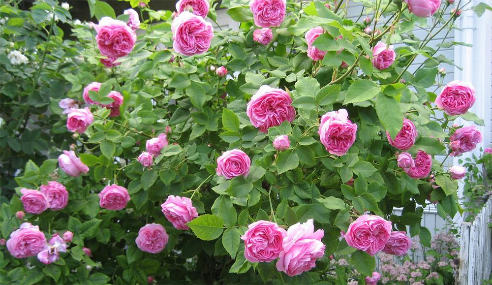 Роза Луис Одьер 1