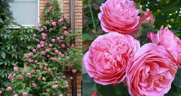 Роза Луис Одьер 4