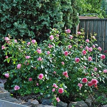 Роза Ля Роз Де Молинар 1