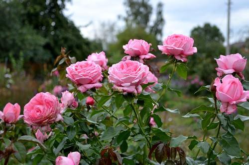 Роза Ля Роз Де Молинар 2