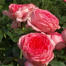 Роза Ля Роз Де Молинар 3
