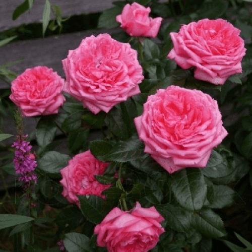Роза Ля Роз Де Молинар 4