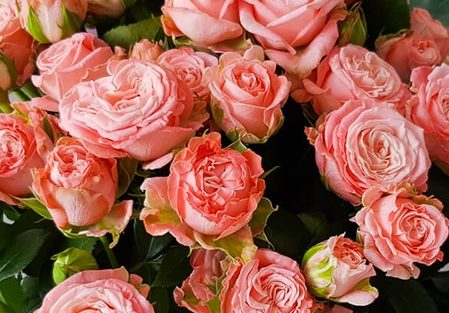 Роза Мадам Бомбастик 3