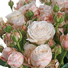 Роза Мадам Бомбастик 1