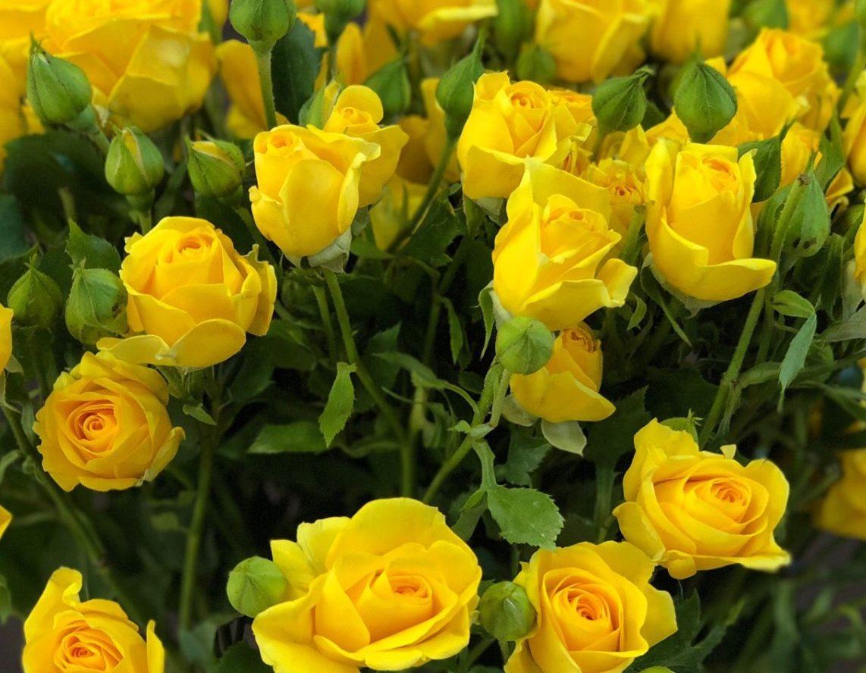 Роза Мариса 2