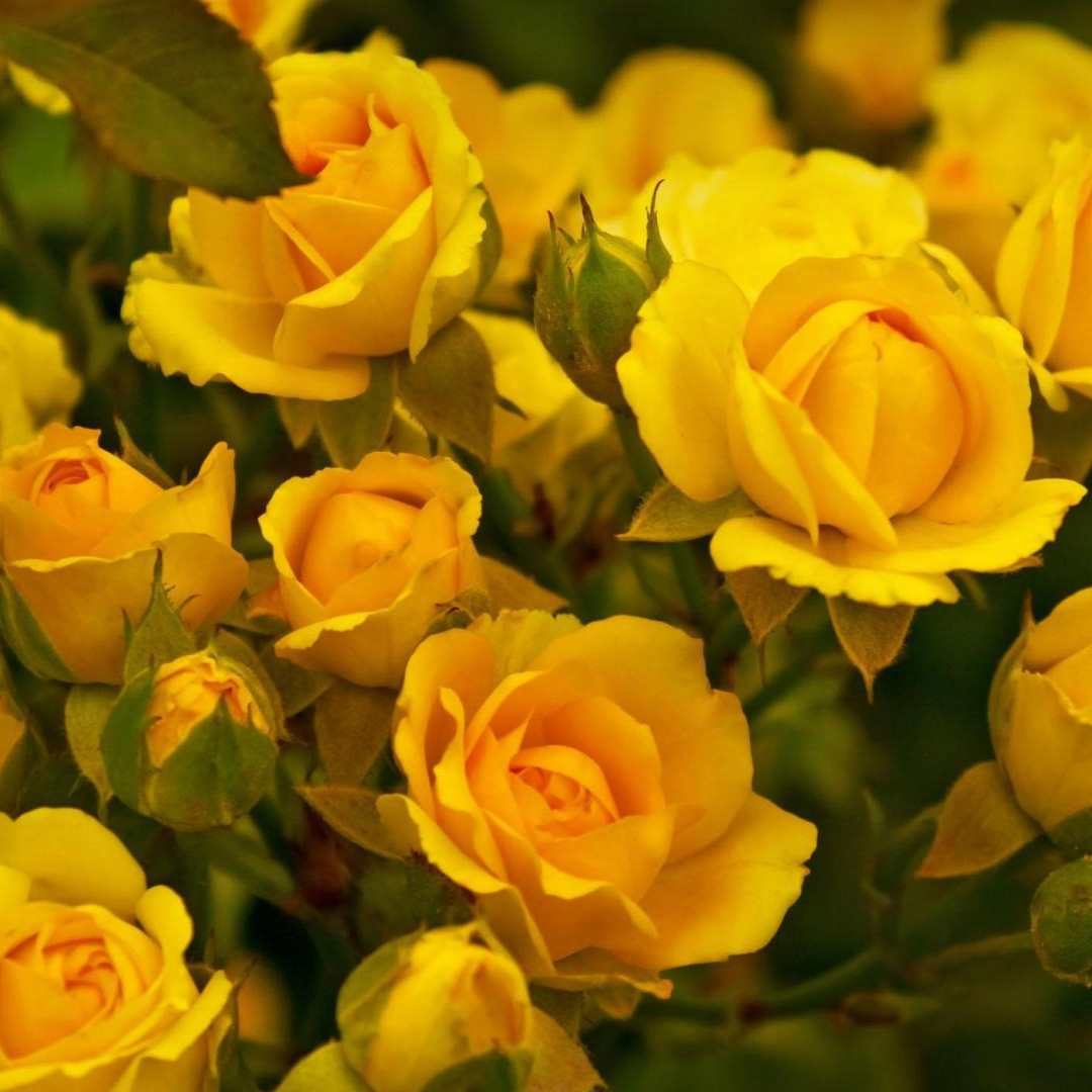 Роза Мариса 1
