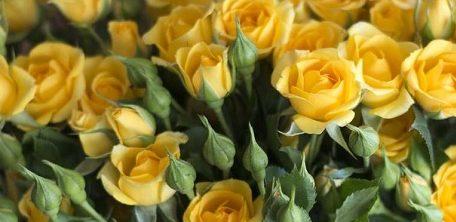 Роза Мариса 3