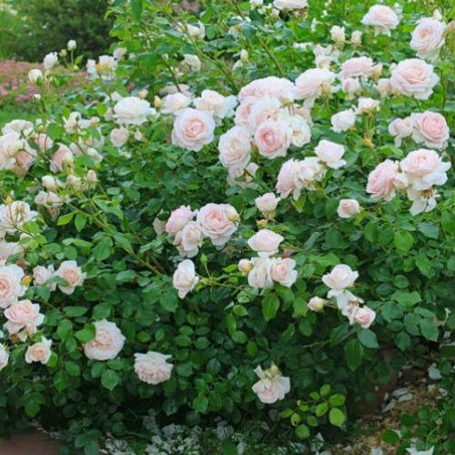 Роза Мартин Гийо изображение 1