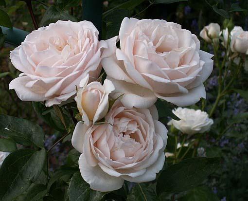 Роза Мартин Гийо 2