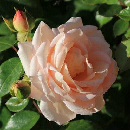 Роза Мартин Гийо изображение 4