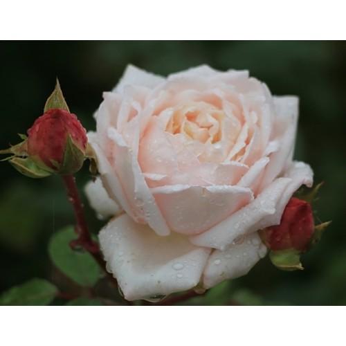 Роза Мартин Гийо изображение 3