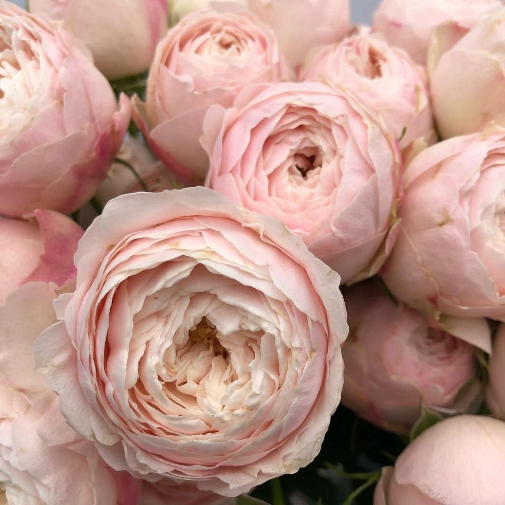 Роза Мэнсфилд Парк 2