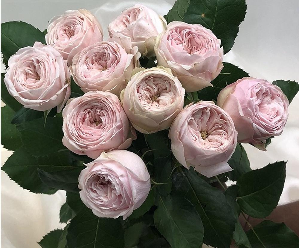 Роза Мэнсфилд Парк 1