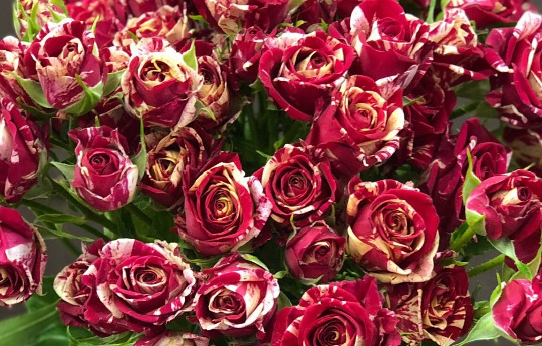 Роза Мерлин 1